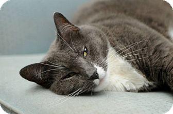 Russian Blue Cat for adoption in Huntington Station, New York - HENRIETTA