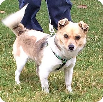 Pomeranian/Terrier (Unknown Type, Small) Mix Dog for adoption in Victoria, British Columbia - Simon