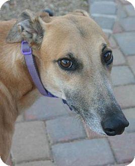 Greyhound Dog for adoption in Tucson, Arizona - Indiana