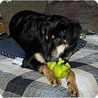 Adopt A Pet :: Hadrian - Evansville, IN