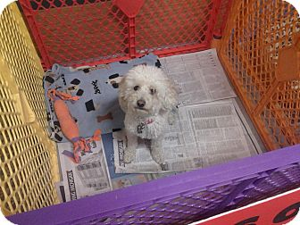 Miniature Poodle Dog for adoption in Detroit, Michigan - Haylee