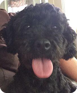 Miniature Poodle Mix Dog for adoption in Ball Ground, Georgia - Toby Canobi