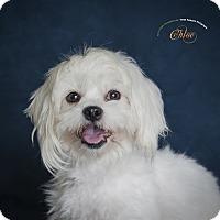 Adopt A Pet :: Chloe - Rancho Mirage, CA