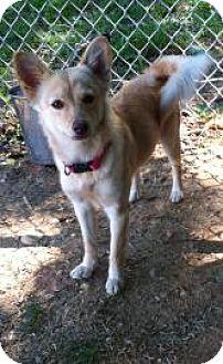 Shiba Inu Dog for adoption in Flushing, New York - Foxxy