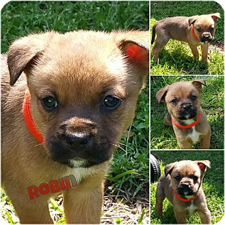Shepherd (Unknown Type) Mix Puppy for adoption in Pittsburgh, Pennsylvania - Robin