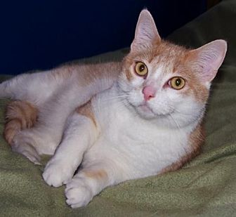 Domestic Shorthair Cat for adoption in Shell Lake, Wisconsin - Kylie