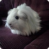 Adopt A Pet :: Ivory - San Antonio, TX