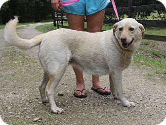 Labrador Retriever Mix Dog for adoption in Stamford, Connecticut - LILLY - LOVES children