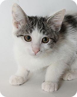 Domestic Shorthair Kitten for adoption in Mountain Center, California - Polk Dot