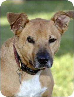 Shepherd (Unknown Type)/American Pit Bull Terrier Mix Dog for adoption in El Segundo, California - Dugan