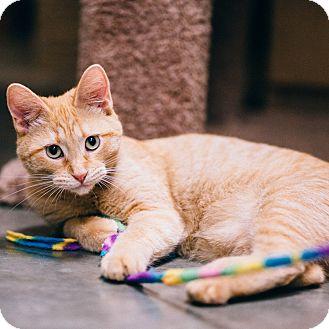 Domestic Shorthair Cat for adoption in Houston, Texas - Dobby