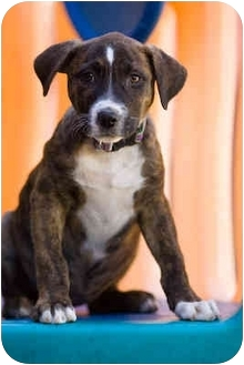Boxer/Pit Bull Terrier Mix Puppy for adoption in Portland, Oregon - Chase
