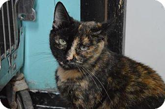 Domestic Shorthair Cat for adoption in Monroe, Michigan - Samantha