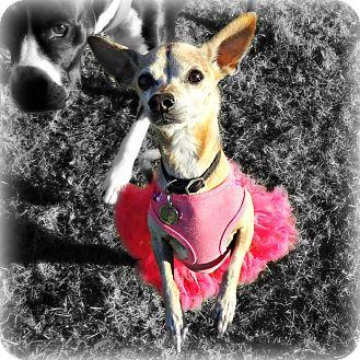 Chihuahua Mix Dog for adoption in Gilbert, Arizona - Tasha