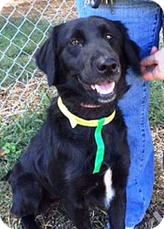 Flat-Coated Retriever Mix Dog for adoption in Rexford, New York - River