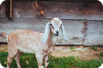 Goat for adoption in Maple Valley, Washington - Grady & Ramsey