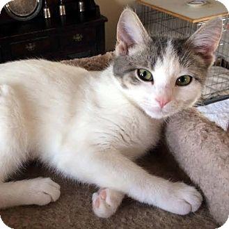 Domestic Shorthair Kitten for adoption in Columbia, Illinois - Baby