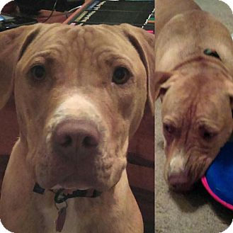 Shar Pei/Labrador Retriever Mix Dog for adoption in Mt juliet, Tennessee - Zeke