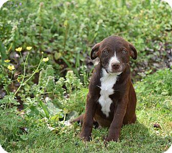 Labrador Retriever Mix Puppy for adoption in Groton, Massachusetts - Hana