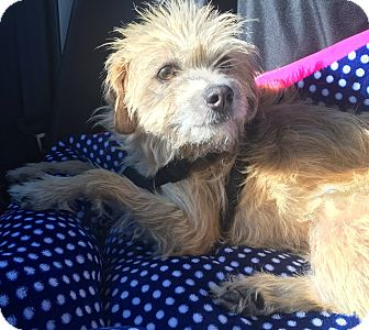 Border Terrier/Greyhound Mix Dog for adoption in Corona, California - Eva Delores, What a BEAUTY!~