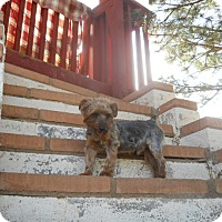 Adopt A Pet :: Clyde - dewey, AZ