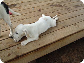 Basset Hound Mix Puppy for adoption in Spring Valley, New York - arizona