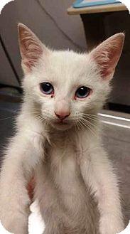 Domestic Shorthair Kitten for adoption in Northfield, Ohio - SNOWBALL
