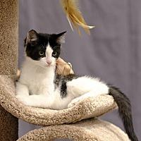 Adopt A Pet :: Miska C1888 - Shakopee, MN