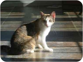 Calico Cat for adoption in Vinton, Iowa - Jezabell