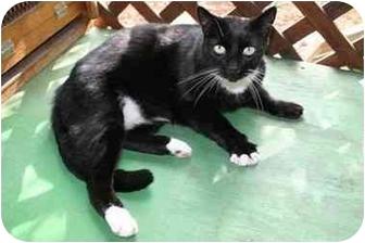 Domestic Shorthair Cat for adoption in La Mesa, California - Bear