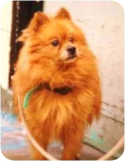 Pomeranian Dog for adoption in New York, New York - Jay