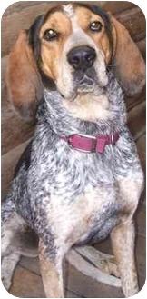Bluetick Coonhound Dog for adoption in Okotoks, Alberta - Duchess