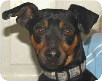 Miniature Pinscher Dog for adoption in Kokomo, Indiana - Chase