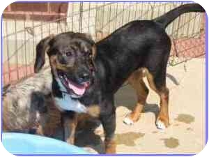 Hound (Unknown Type)/Labrador Retriever Mix Dog for adoption in Arlington, Virginia - Mango