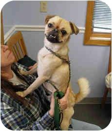 Pug Mix Dog for adoption in Framingham, Massachusetts - Sonic