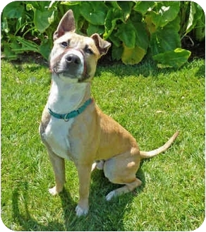 American Pit Bull Terrier Mix Dog for adoption in San Clemente, California - WALLY