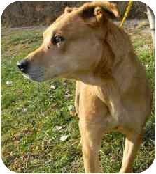 Shepherd (Unknown Type)/Rhodesian Ridgeback Mix Dog for adoption in Kansas City, Missouri - Graham