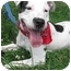 Photo 1 - Dalmatian/American Staffordshire Terrier Mix Dog for adoption in Freeport, New York - Lennox