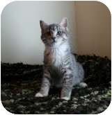 Domestic Shorthair Kitten for adoption in Okotoks, Alberta - Trudy