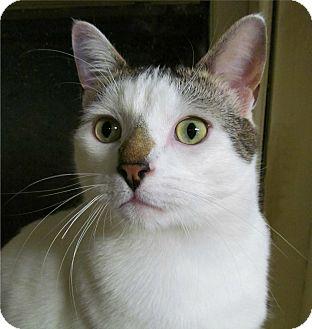 Domestic Shorthair Cat for adoption in Plainville, Massachusetts - Snowball