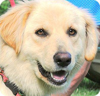 Golden Retriever/Labrador Retriever Mix Dog for adoption in Wakefield, Rhode Island - BLOSSOM(GENTLE-SO LOVING!!