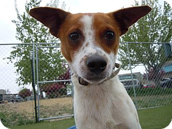 Cattle Dog/Jack Russell Terrier Mix Dog for adoption in Meridian, Idaho - Rusty