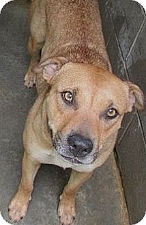 Shepherd (Unknown Type)/Labrador Retriever Mix Dog for adoption in Tahlequah, Oklahoma - Jill (twin to Jackie)