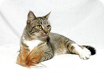Domestic Shorthair Cat for adoption in Lufkin, Texas - Queenie