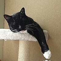 Domestic Shorthair Cat for adoption in New York, New York - Oreo