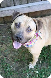 American Pit Bull Terrier Mix Dog for adoption in Darlington, South Carolina - Sandy