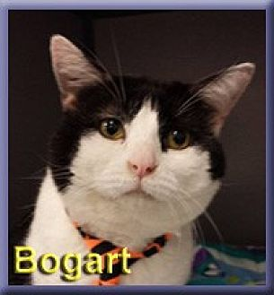 Domestic Shorthair Cat for adoption in Aldie, Virginia - Bogart