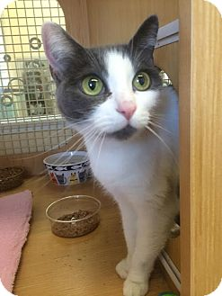 Domestic Shorthair Cat for adoption in Los Angeles, California - Lily