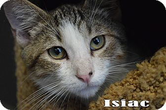 Domestic Shorthair Cat for adoption in Texarkana, Arkansas - Isiac
