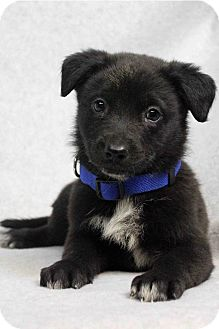Shepherd (Unknown Type) Mix Puppy for adoption in Westminster, Colorado - Ziggy